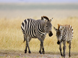 Zebra and Juvenile Zebra on the Maasai Mara  Kenya