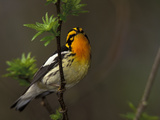 Male Blackburnian Warbler in Breeding Plumage  Pt Pelee National Park  Ontario  Canada