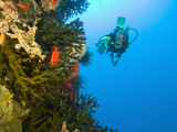 Scuba Diver Swimming into Cave of Tubastrae Coral Formation and Soldierfish  Banda Sea  Indonesia