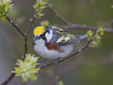 Close-up of Male Chestnut-Sided Warbler on Tree Limb   Pt Pelee National Park  Ontario  Canada