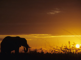 Elephant Grazing at Sunset  Tarangire National Park  Tanzania