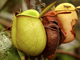 Pitcher Plant  Sarawak  Borneo  Malaysia