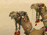 Decorated Camel in the Thar Desert  Jaisalmer  Rajasthan  India
