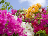 Bougainvillea  Cayman Brac  Cayman Islands  Caribbean