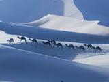 Camel Caravan on the Erg Chebbi Dunes  Merzouga  Tafilalt  Morocco