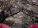 Pink Lanterns on Canopy of Cherry Trees in Bloom  Kamakura  Japan