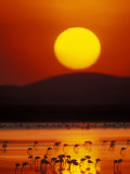 Flock of Lesser Flamingos Reflected in Water at Sunrise  Amboseli National Park  Kenya
