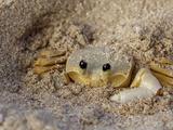 Emerald Beach Sand Crab, Lindergh Bay, St. Thomas, Us Virgin Islands, Caribbean Papier Photo par Cindy Miller Hopkins