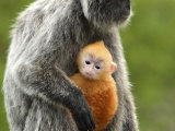Silver Leaf Monkey and Offspring  Bako National Park  Borneo  Malaysia