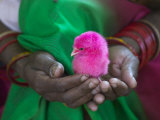 Woman and Chick Painted with Holy Color  Orissa  India