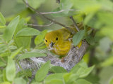 Yellow Warbler Male Building Nest   Pt Pelee National Park  Ontario  Canada