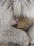 Snow Monkey Baby Peeking out from Mother's Arms  Jigokudani  Japan