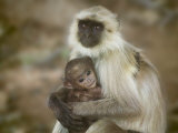 Black-Face Langur Mother and Baby  Ranthambore National Park  Rajasthan  India