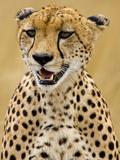 Cheetah in the Brush  Maasai Mara  Kenya