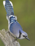 Close-up of Blue Jay on Dead Tree Limb  Rondeau Provincial Park  Ontario  Canada