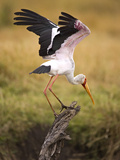 Yellow-Billed Stork Readying for Flight  Maasai Mara  Kenya