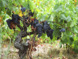 Ripe Grapes in the Vineyard  Domaine Pech-Redon  Coteaux Du Languedoc La Clape
