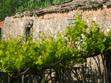 Vineyard Detail  Assos  Kefalonia  Ionian Islands  Greece
