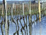 Cabernet Franc Vines in Bourgueil  Bourgueil  Indre Et Loire  France