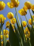 Tulips in Keukenhof Gardens  Amsterdam  Netherlands