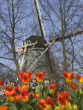 Windmill with Tulips in Keukenhof Gardens  Amsterdam  Netherlands