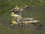 Mother Duck Leading Ducklings on the River in Keukenhof Gardens  Amsterdam  Netherlands
