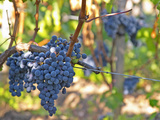 Ripe Bunches of Merlot Grapes  Chateau La Grave Figeac  Saint Emilion  Bordeaux  France
