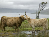 Highland Cows Courting and Grooming  Scotland