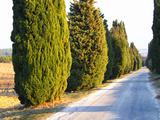 Avenue Allee with Cyprus Trees to Chateau Des Fines Roches  Chateauneuf-Du-Pape  Vaucluse