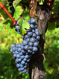 Merlot Grapes on Branch of a Vine  Bergerac  Bordeaux  Gironde  France