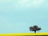 Lone Tree in Field of Rapeseed  Germany