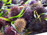 Street Market Stall with Sea Urchins Oursin  Sanary  Var  Cote d'Azur  France