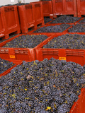 Gamay Grapes at Georges Duboeuf Winery  Romaneche-Thorins  Beaujolais  Bourgogne  France