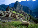 Llama Rests Overlooking Ruins of Machu Picchu in the Andes Mountains  Peru