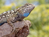 Close-up of Male Western Fence or Blue Belly Lizard  Lakeside  California  USA