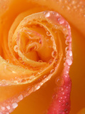 Rose Close-up with Dew