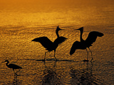 Silhouettes of Reddish Egrets Conduct Mating Dance in Gold-Colored Water