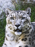 Portrait of Snow Leopard at the Sacramento Zoo  Sacramento  California  USA