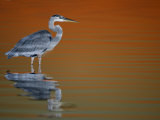Great Blue Heron in Water at Sunset  Fort De Soto Park  St Petersburg  Florida  USA