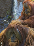 Sumatran Orangutans in the Sacramento Zoo  Sacramento  California  USA