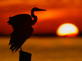 Silhouette of Great Blue Heron Stretching Wings at Sunset  Fort De Soto Park  St Petersburg