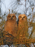 Great Horned Owlets on Tree Limb  De Soto  Florida  USA