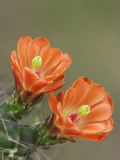 Claret Cup Cactus Blooming  Uvalde County  Hill Country  Texas  USA