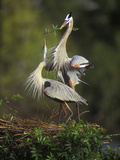 Great Blue Herons in Courtship Display at the Venice Rookery  South Venice  Florida  USA
