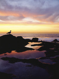 Seagull at Sunset Cliffs Tidepools on the Pacific Ocean  San Diego  California  USA