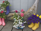 Colorful Rubber Boots Used as Flower Pots  Homer  Alaska  USA