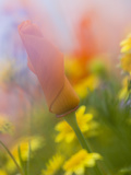 Abstract of Poppies and Wildflowers  Antelope Valley  California  USA