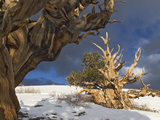 Ancient Bristlecone Pine Trees  White Mountains  California  USA