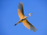 Great Egret in Flight at Sunset  St Augustine  Florida  USA