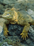 Detail of Land Iguana on Volcanic Rock  Galapagos Islands  Ecuador